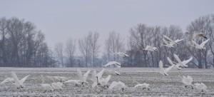 Schwierig wird's für Schwäne an kalten Tagen, wenn sie beim Gründeln im Flachwasser des Kubitzer Boddens nicht mehr nicht mehr genug Nahrung finden. Dann fliegen sie auf die Wiesen und Felder der Umgebung.